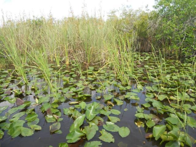 Alligator Everglades Florida, Verenigde Staten