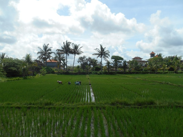 Rijstvelden Ubud, Bali, Indonesië, Zuid Oost-Azië