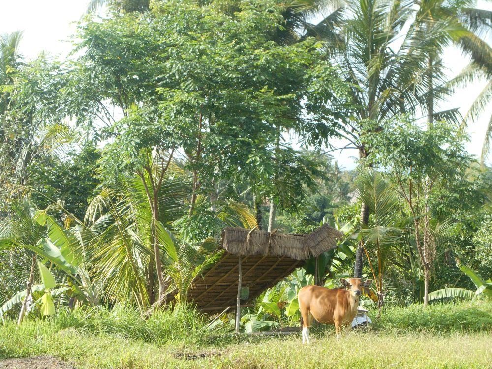 Koe in Ubud, Bali, Indonesië, Zuid Oost-Azië