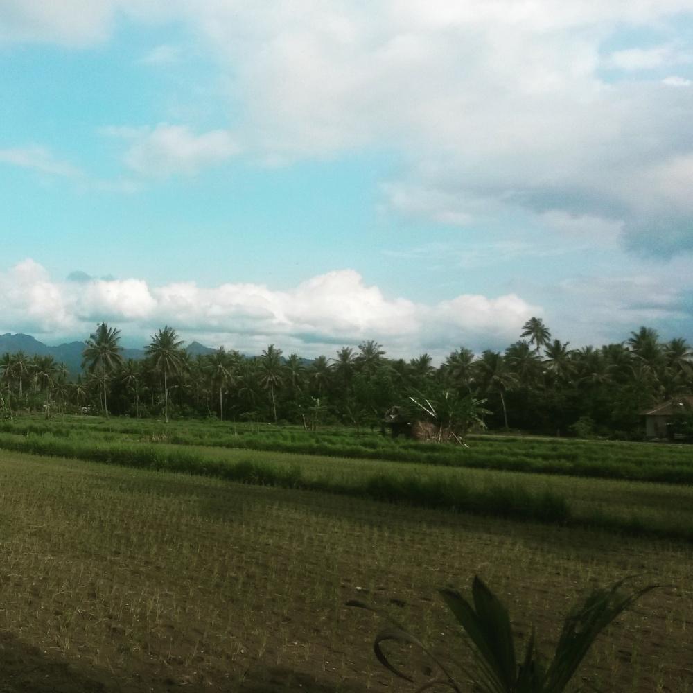 Rijstvelden, ook Lombok staat er vol van, in Lombok, Indonesië, Zuid Oost-Azië